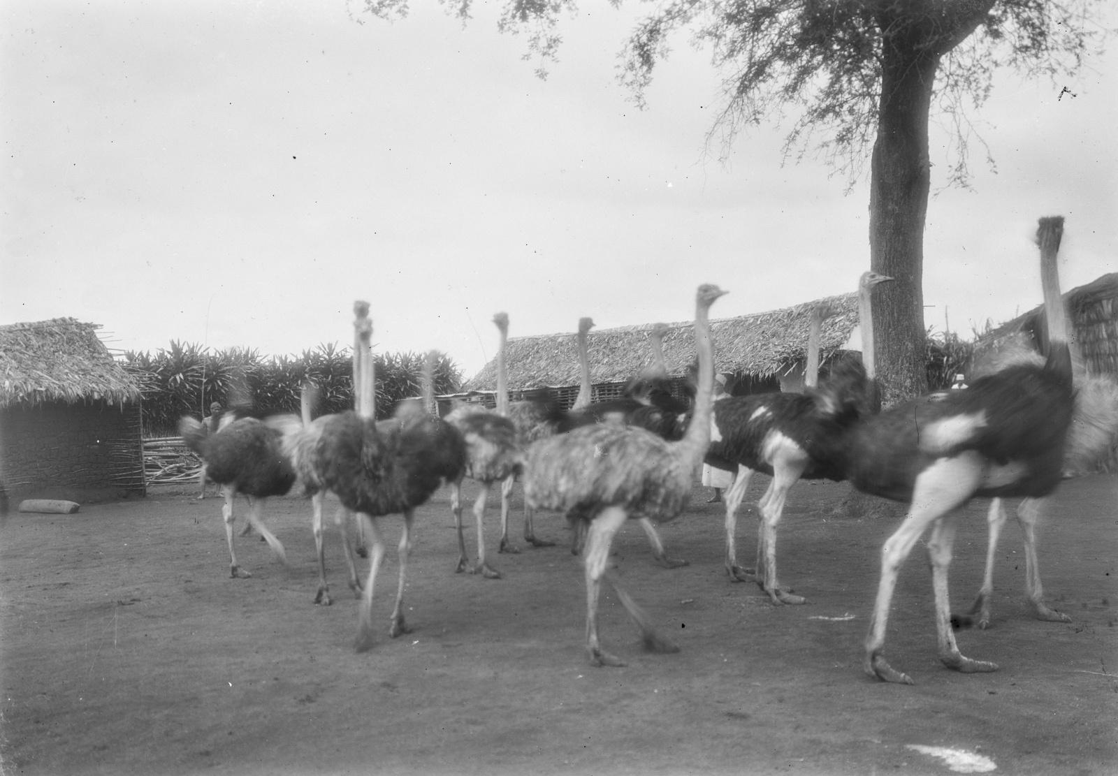 153. Станция немецкого общества Восточной Африки (ДОАГ). Страусиная ферма
