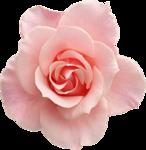 Beautiful Roses #7 (12).png