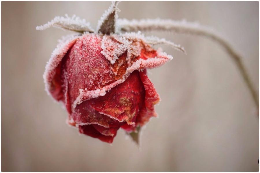Семь причин, почему замерзают розы
