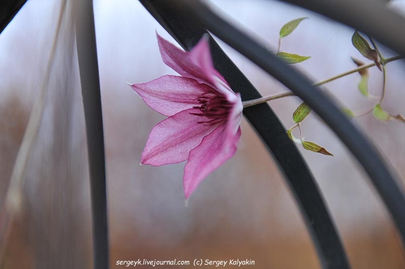 Clematis Giselle.JPG
