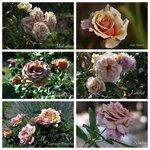 розы myroses