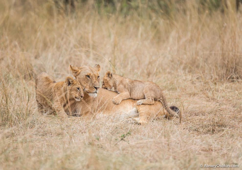 8. Ну а вот некоторые моменты из жизни львиного детского сада.