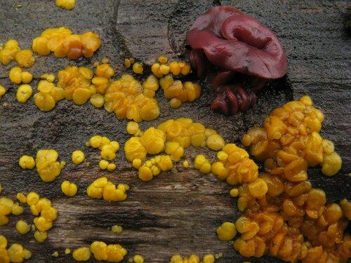Биспорелла лимонно-желтая (Bisporella citrina) и Аскокорине мясная (Ascocoryne sarcoides) Автор фото: Станислав Кривошеев