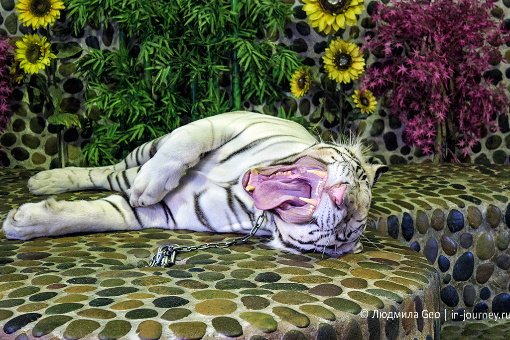 тигр-альбинос в парке древних камней