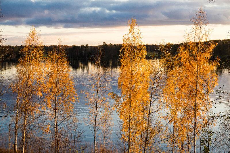 желтые листья на березах в октябре, золотая осень