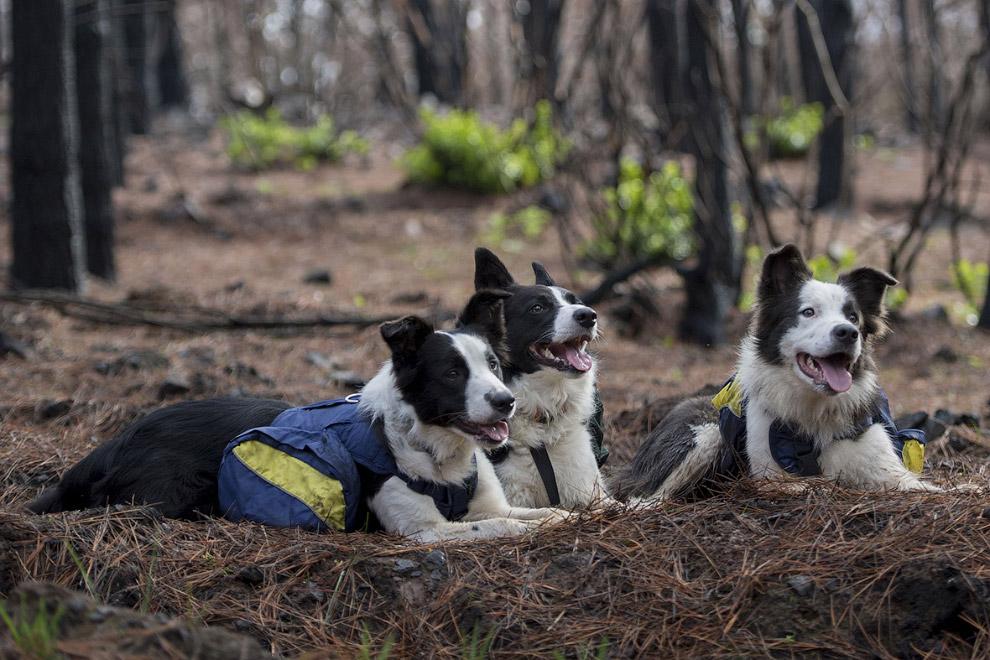 4. Как это работает? Собакам в специальные рюкзаки, висящие по бокам, насыпают семена.