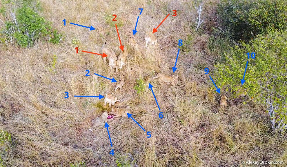 3. Беременные львицы всегда держатся вместе. Вместе рожают и вместе выкармливают потомство, находясь