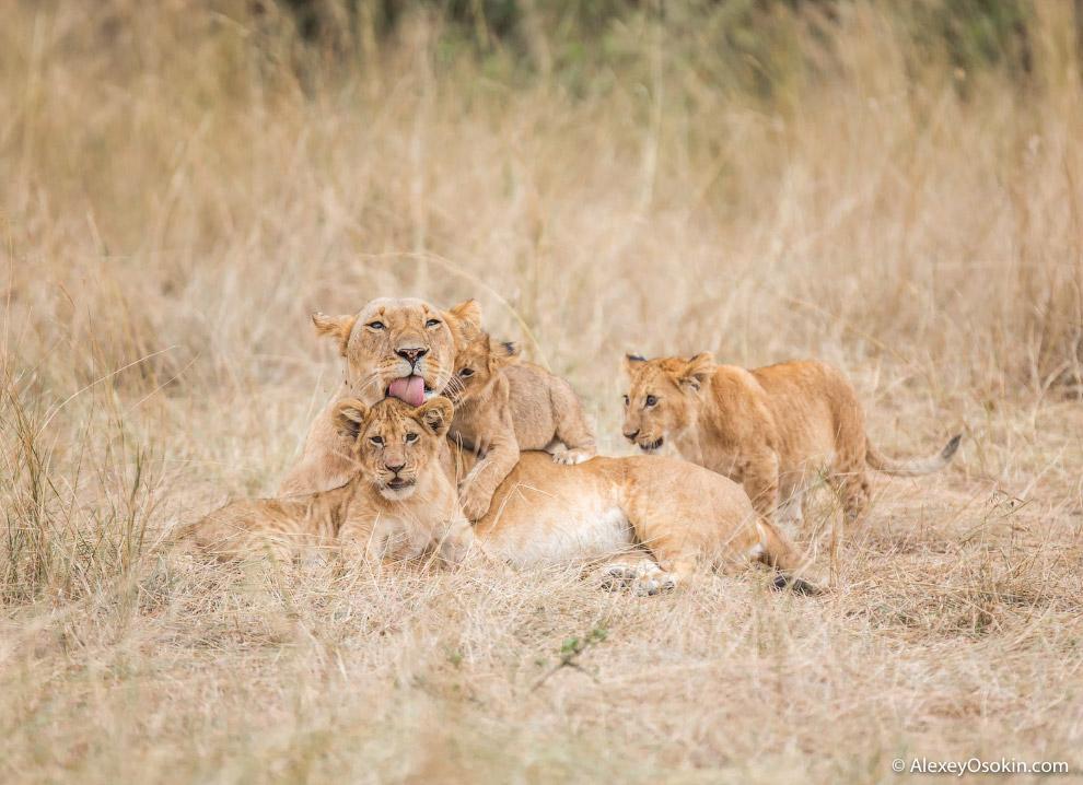 6. От птиц львицы прячут деток в кустах, а во время перехода с места на место четко контролируют воз