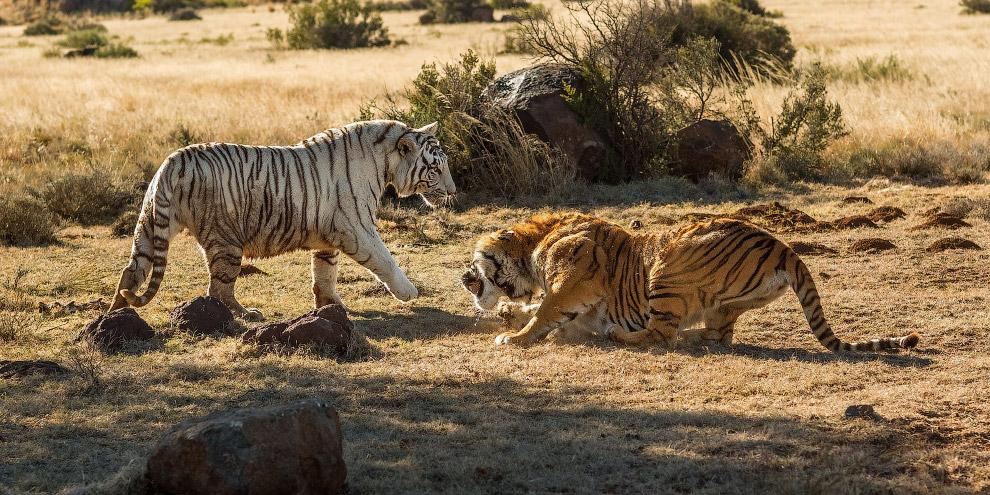 11. …и признать свое поражение. (Фото Alex Kirichko).  Также смотрите « Большие кошки » и « Пар