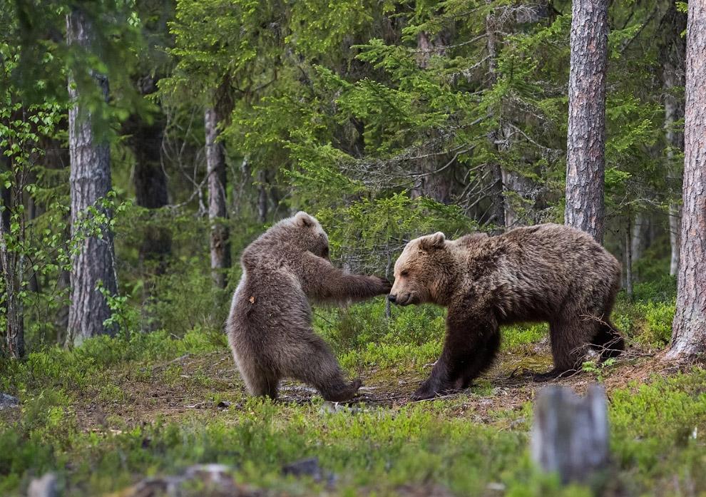 21. Крылатый медведь. (Фото Esa Ringbom | The Comedy Wildlife Photography Awards):