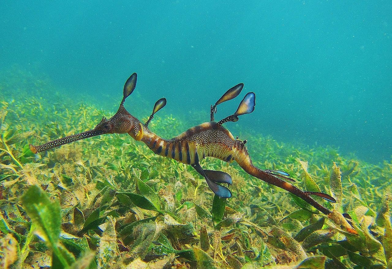 (Weedy Seadragon) Common seadragon