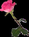 Beautiful Roses #7 (14).png