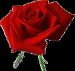 Beautiful Roses #7 (15).png