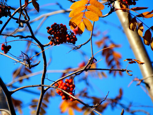 Ягоды рябины гроздями висят...