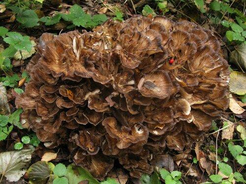 Гриб-баран (Grifola frondosa). С баранами в этом году была напряженка, но один грибочек все-таки нашелся. Крупняк, однако Автор фото: Станислав Кривошеев