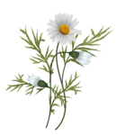 daisies vector-4.png