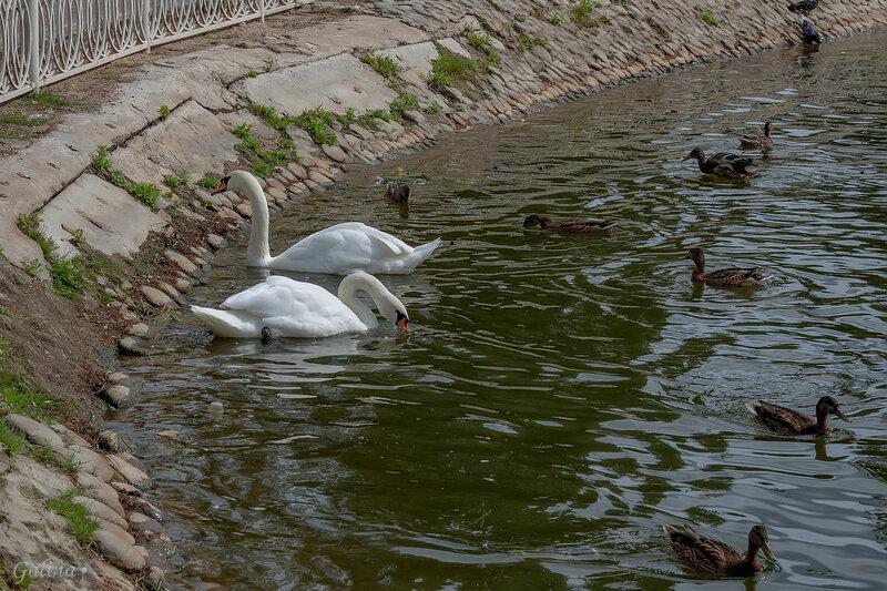 Два белых лебедя и утки