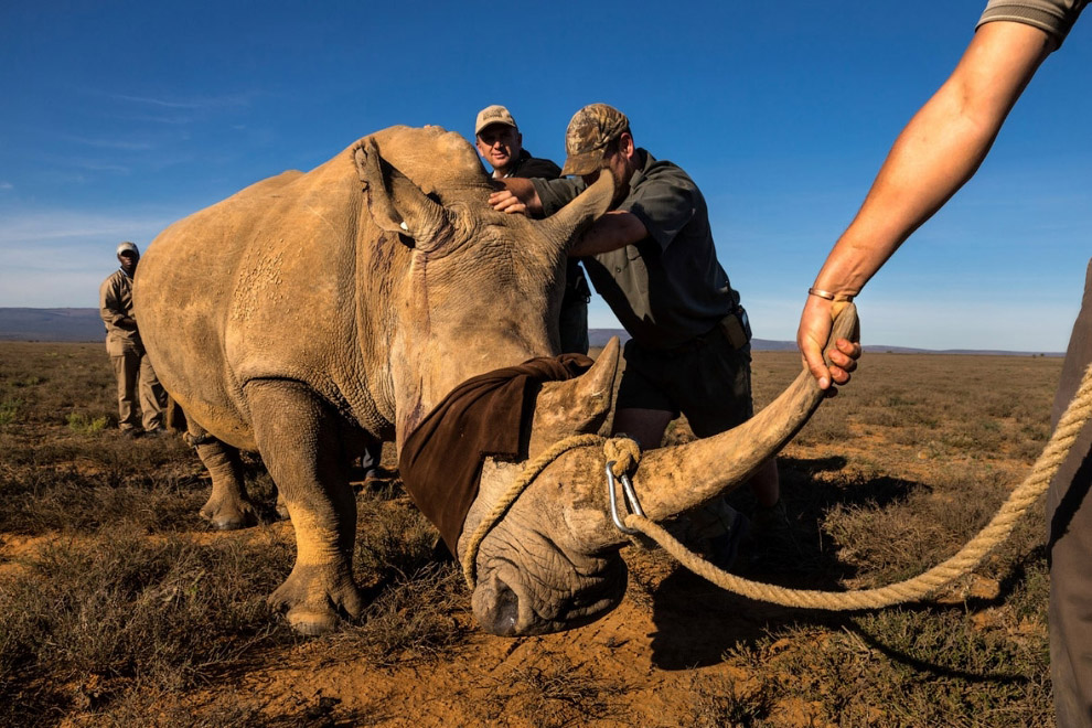Рога у носорогов приходится регулярно подрезать, чтобы они становились неинтересны браконьерам. Оста