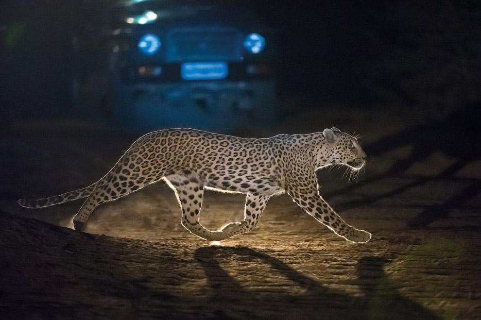Национальный парк Рантамбор находится в штате Раджастан и считается лучшим тигриным заповедником.