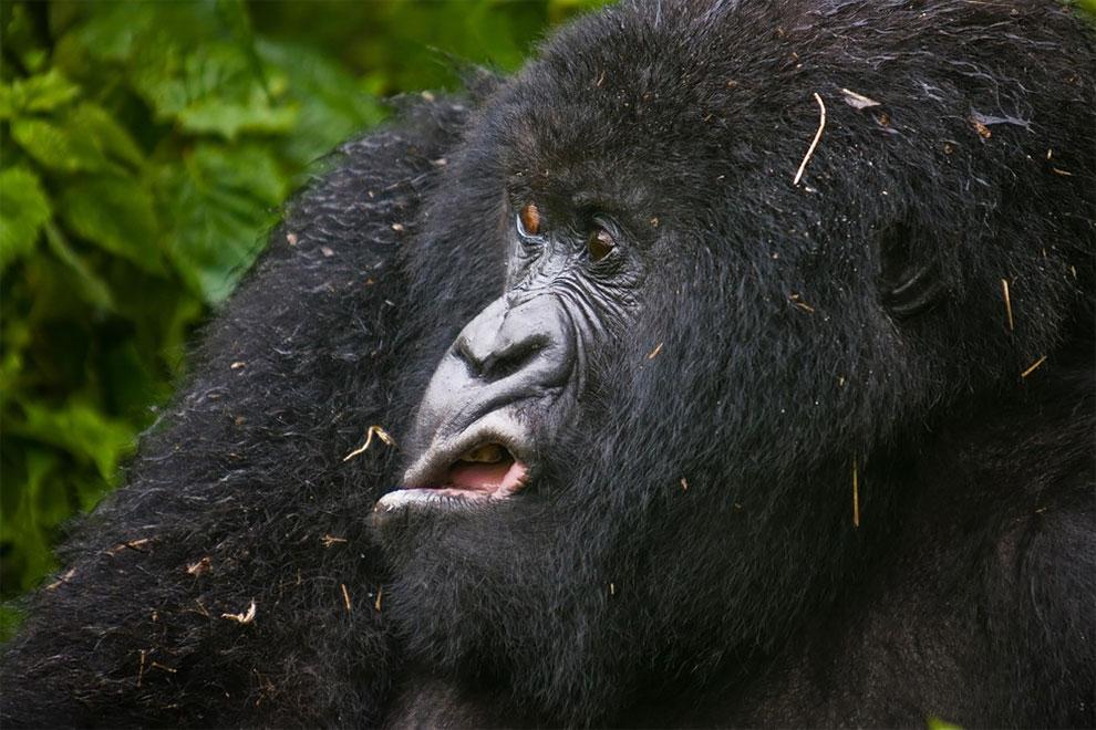 Горная горилла явно чем-то недовольна, национальный парк Вирунга, Конго. Фото: Josef Friedhuber