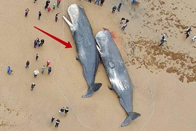 Среди мусора, найденного в желудках этих гигантских млекопитающих, были 13-метровая сеть и 70-сантим