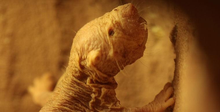 13. Любопытно, что эти животные живут в колониях, словно муравьи, и выполняют различные роли в завис