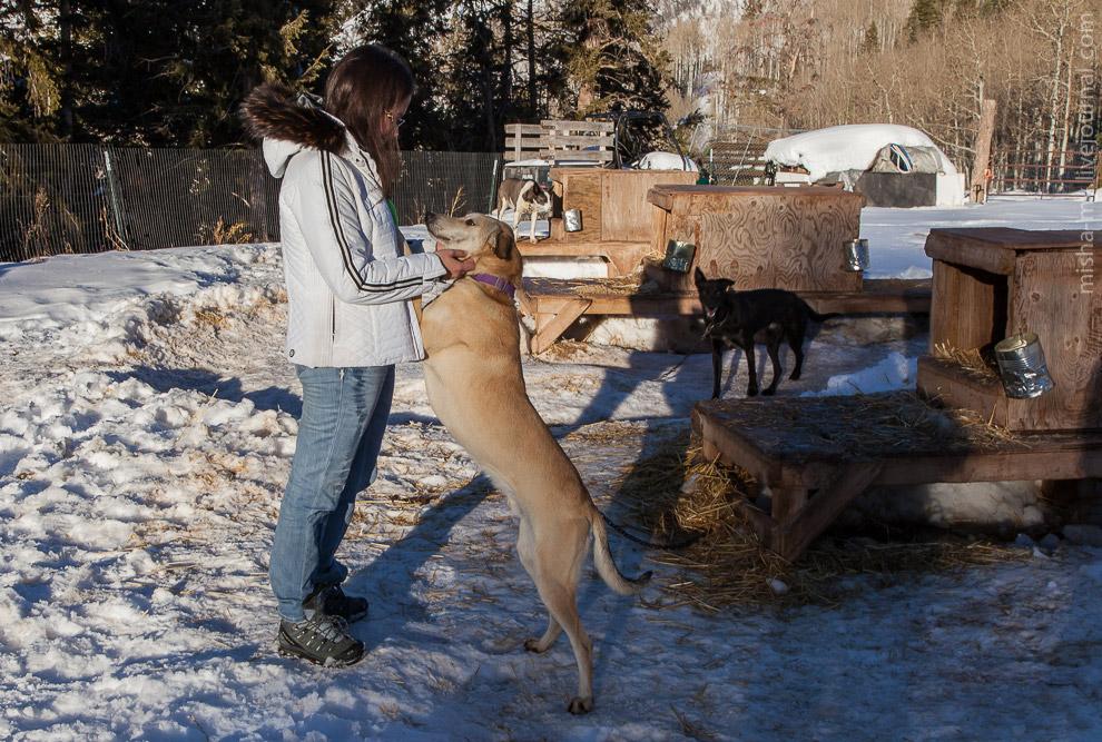 5. Ездовые собаки очень любят бегать, они натурально просятся, что бы именно их поставили в упряжку.