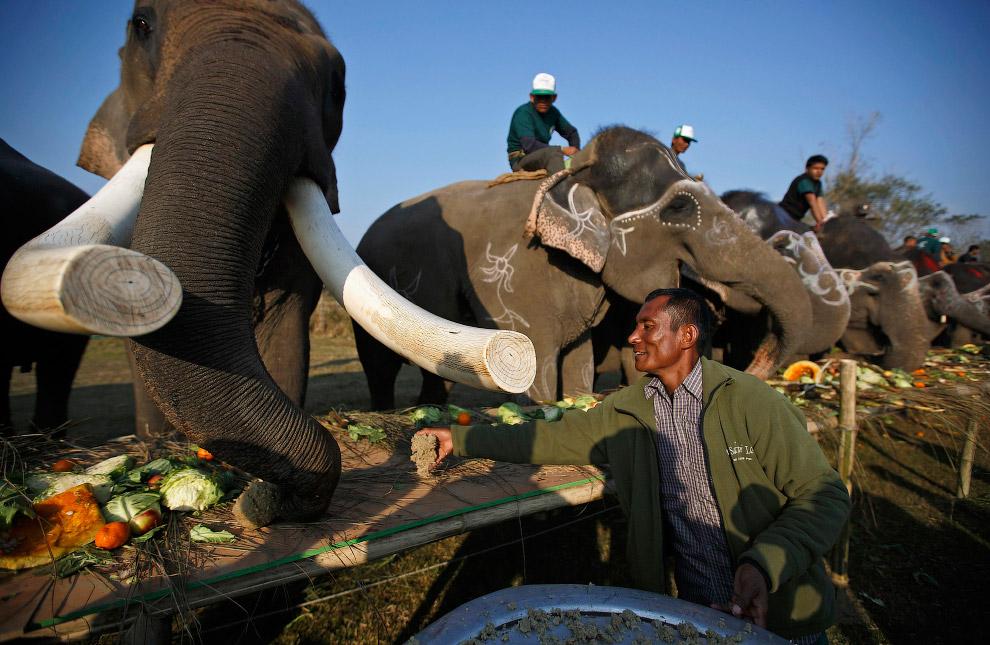 23. А заканчивается фестиваль слонов в Непале, как и у людей, роскошным банкетом. (Фото Navesh Chitr
