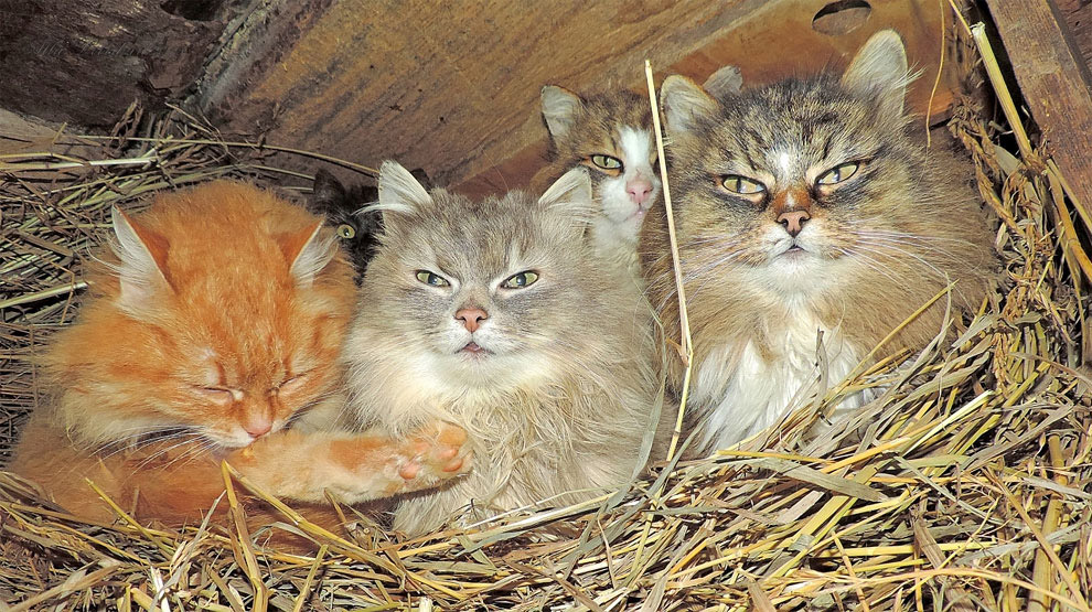 Миллион сибирских кошек