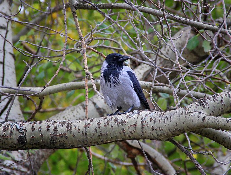 Ворона на дереве голом скучала