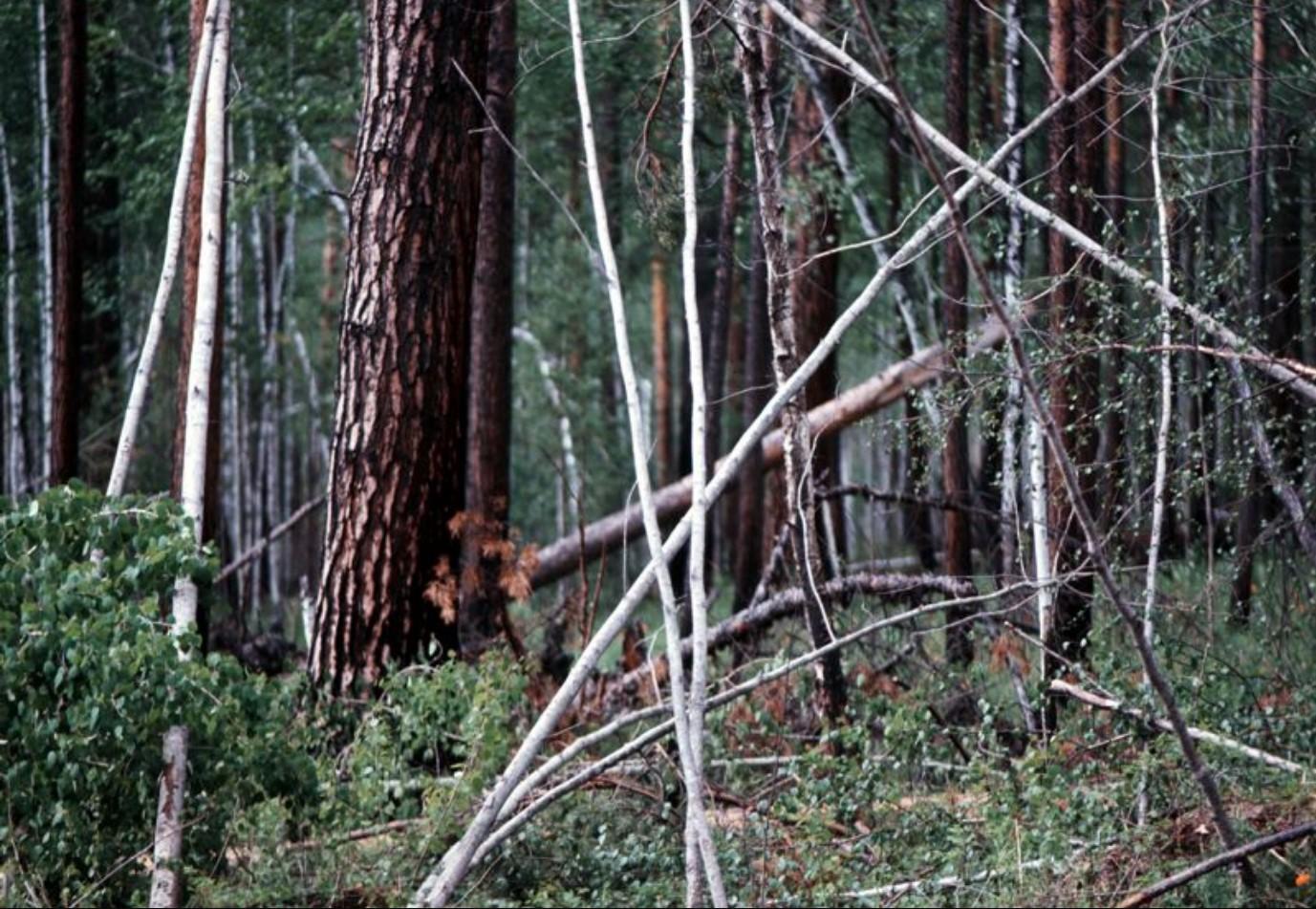 Смешанный лес в окрестностях Байкала. Береза и хвойные породы