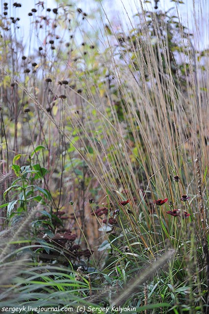 Cosmos atrosanguineus Chocolate Calamagrostis Waldenbusch.JPG