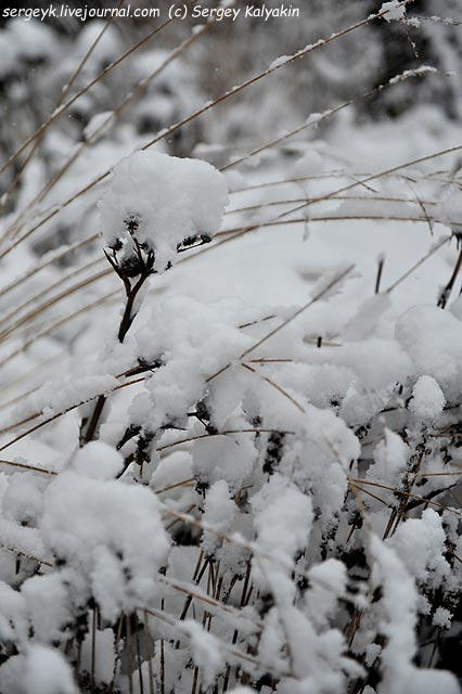 Eryngium yuccifolium Stachys monniery Hummelo.JPG