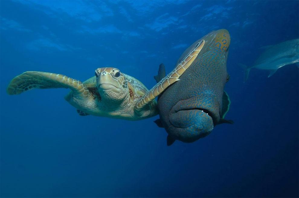 Зеленая черепаха против рыбы-наполеона. Фото: Troy Mayne