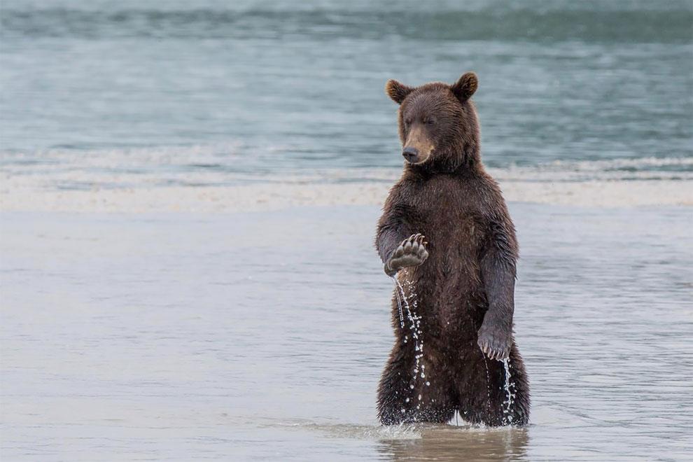 «Спокойствие» — бурый медведь, Камчатка. Фото: Denis Budkov