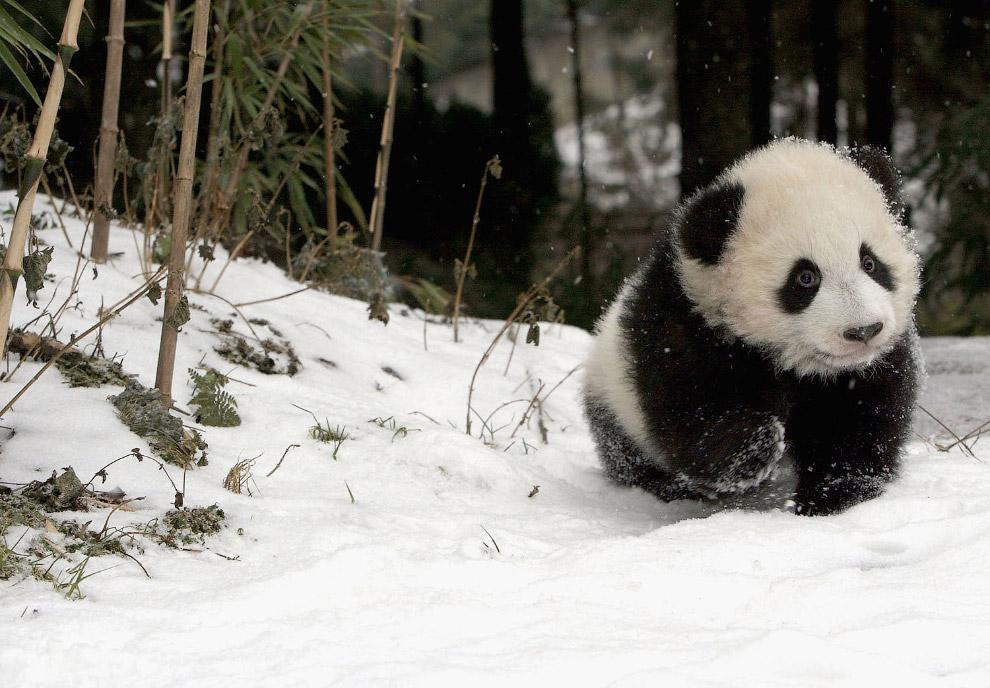 10. Пандам хорошо в резерватах. Хотя они и в других местах хорошо защищены — в КНР предусмотрена сме
