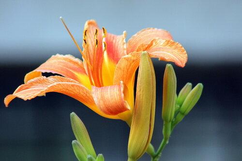Прекрасная лилия!
