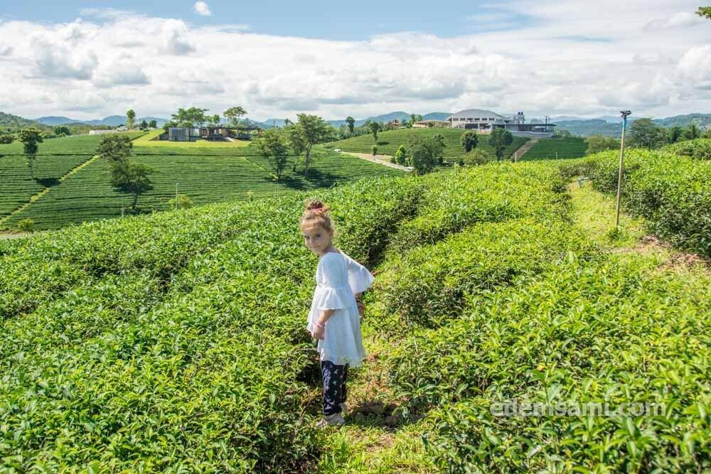 Чайная плантация Чианграй