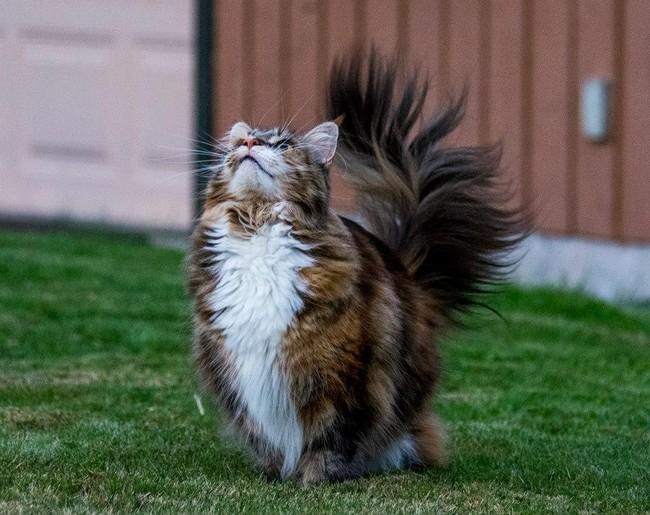 Эти кошки породы мейн-кун, украдут ваше сердце за секунду!