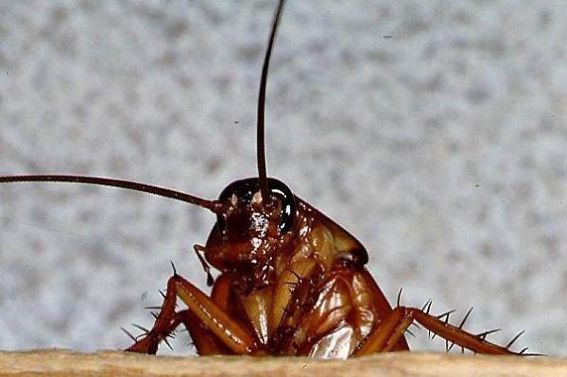 19. Таракан   Если в доме бездушного, негостеприимного хозяина тараканам не удается найти ни кр