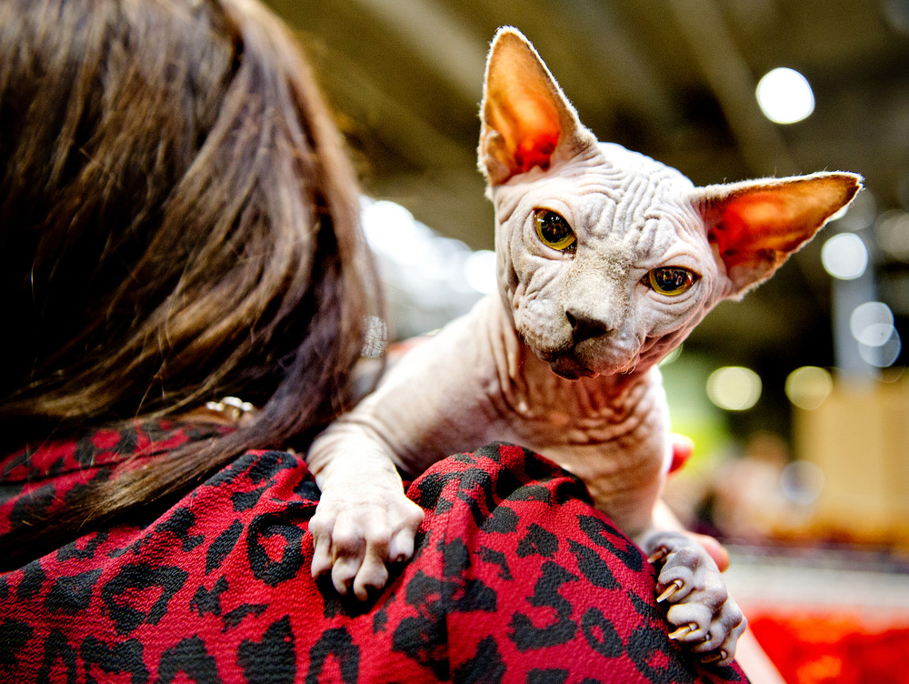 Выставка кошек в Великобритании