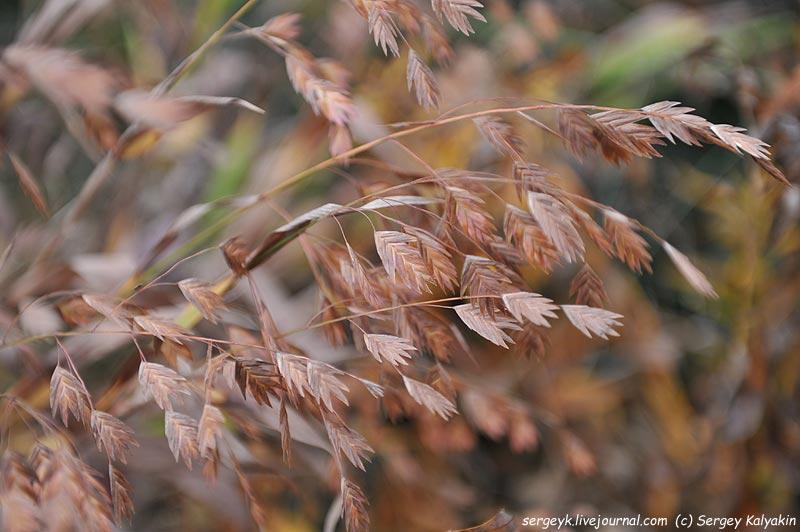 Chasmantium latifolium.JPG