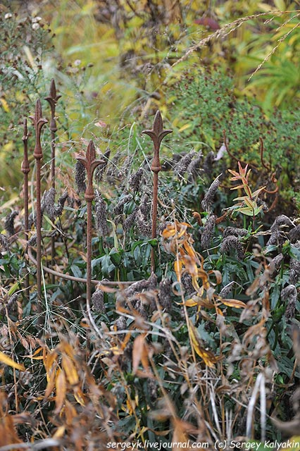 Trifolium rubens.JPG
