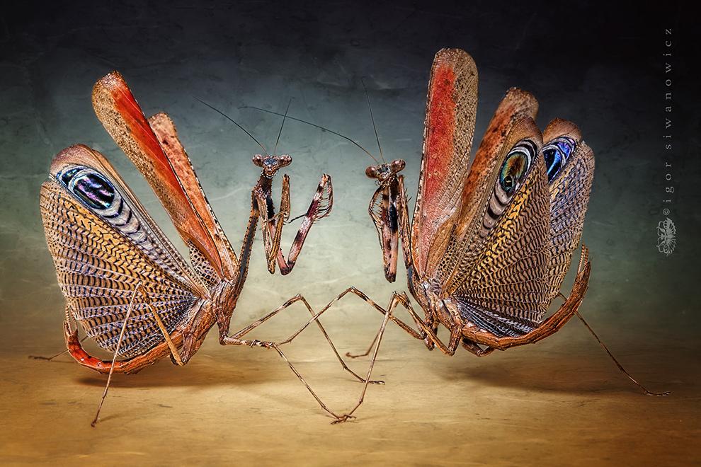 Ламприма золотистая — жук из семейства Рогачей: