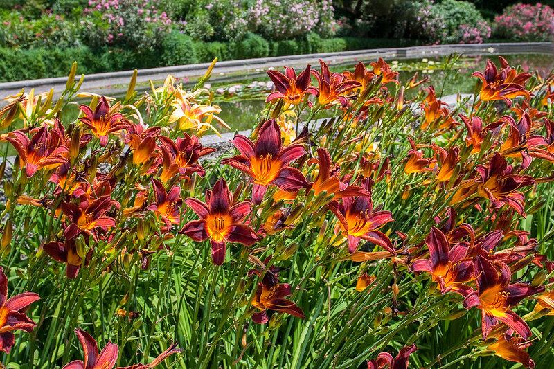 Лилейник. Никитский ботанический сад