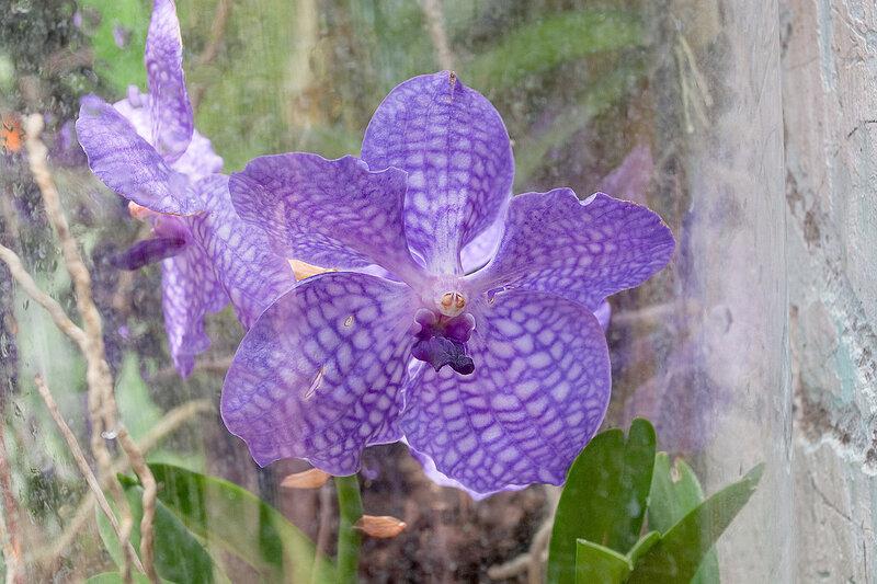 Фаленопсис. Никитский ботанический сад