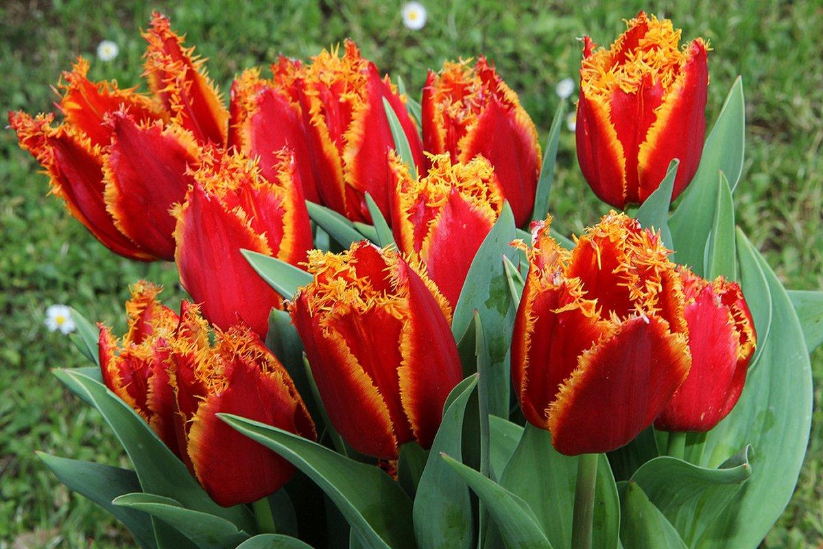 Луковицы тюльпанов Fabio