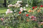 IMG_5392.JPG  роза кустарниковая  Рококо (Rokoko), Tantau, 1987