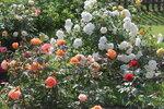 IMG_5393.JPG  роза флорибунда Шнеевитхен (Schneewittchen) Kordes 1958