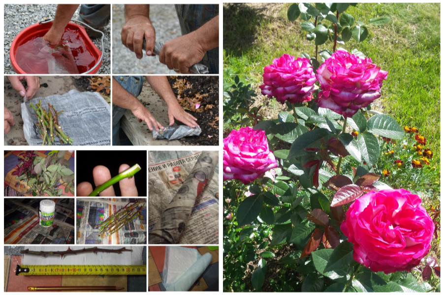 Черенкование роз в газете по методу буррито